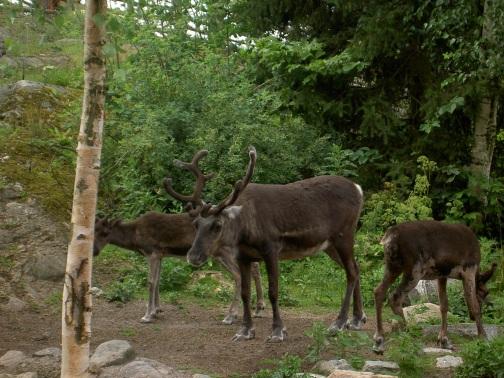 reindeer-493577.jpg