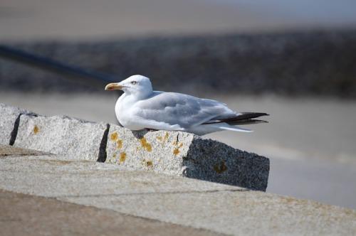 seagull-2752288_640