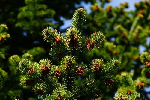 pine-1388608_1280