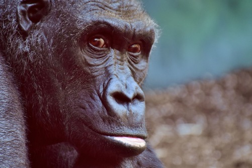 gorilla-2876059_1920